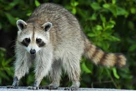 Seeing raccoons in the same place reminds me of how my depression works